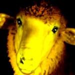Première mondiale : des moutons transgéniques phosphorescents
