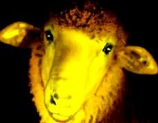 moutons_uruguay_upr
