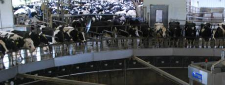 La ferme-usine des 1000 vaches