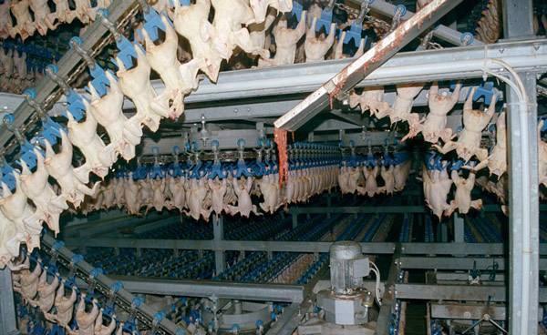 Production industrielle de poulets aux États-Unis